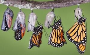 butterfly_emerging1-300x186